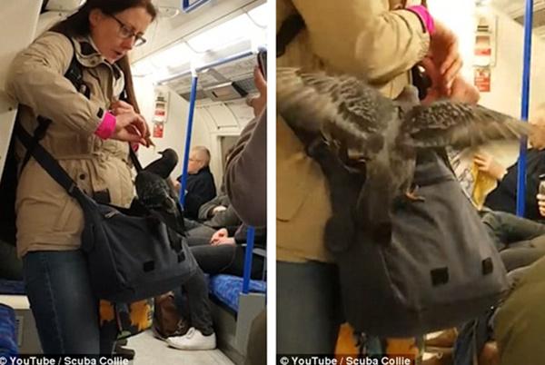 """伦敦地铁惊现""""搭便车""""鸽子 获乘客喂食巧克力 轨道休闲"""